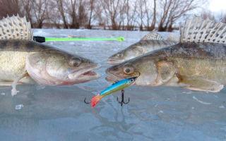 Как правильно ловить судака зимой на балансиры