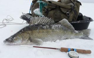 Как ловить судака на тюльку зимой
