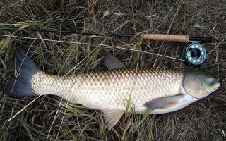 Ловля белого амура: как и на что ловить