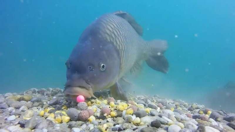 Лучшие бойлы на карпа и других карповых рыб