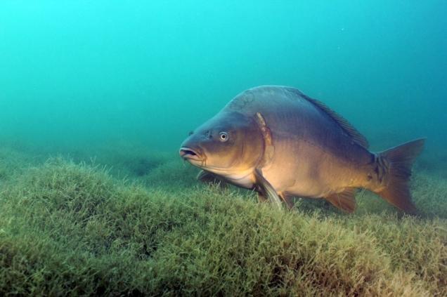 Карп под водой у дна