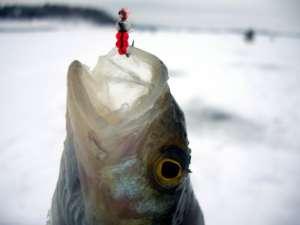 Правильная ловля ротана зимой - какие снасти выбрать, как найти клевое место