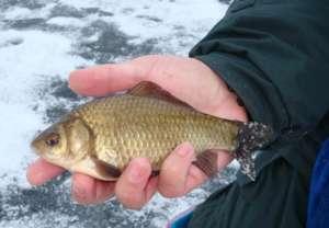 Карась, пойманный зимой