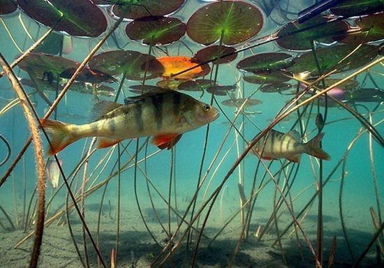 Поведение окуня под водой весной