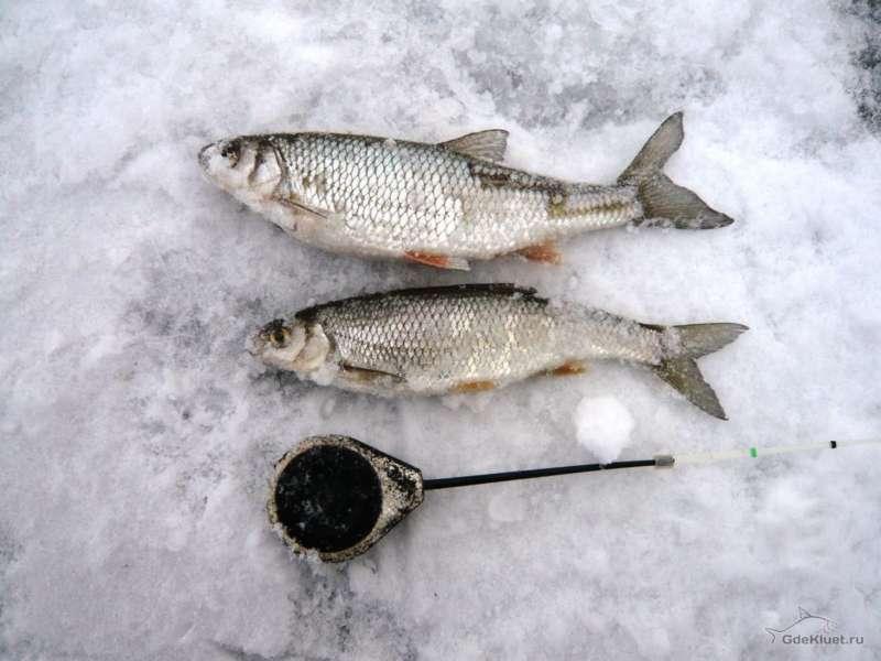 Елец на зимней рыбалке