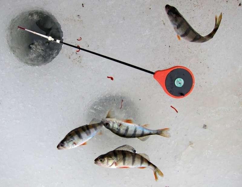 Окуни и мотыль на льду