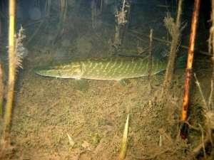 Щука съемка под водой