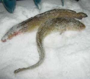 Налим пойманный зимой