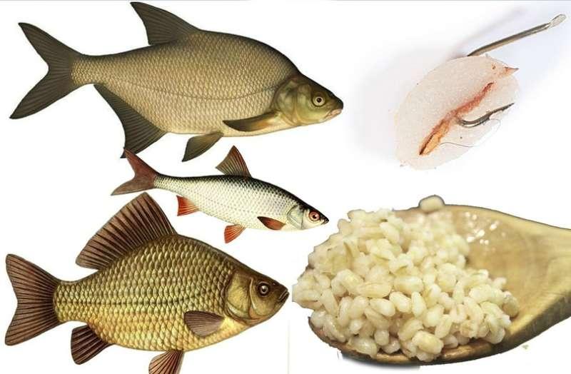 Как приготовить перловку для рыбалки: как и сколько ее варить