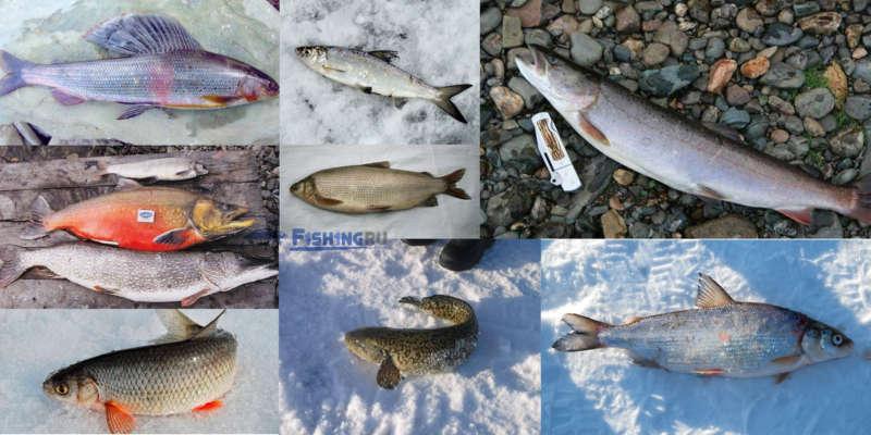 Рыба, которая обитает и ловится в якутии