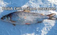 Сиг - полное описание рыбы, способы приготовления, где как и когда ловить рыбу, ареал обитания
