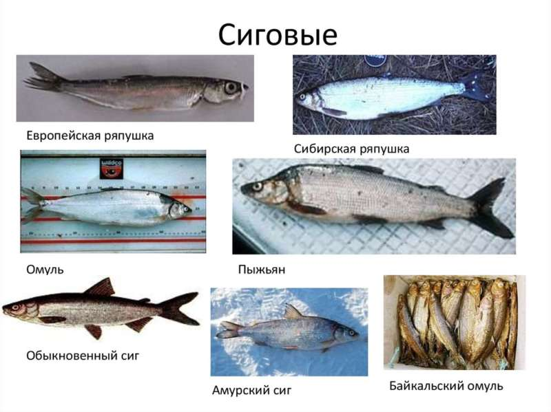 Виды сиговых рыб, семейство форелевые