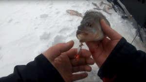Рыбалка дикарем зимой на Рыбинском водохранилище - окуни в проруби на блесна