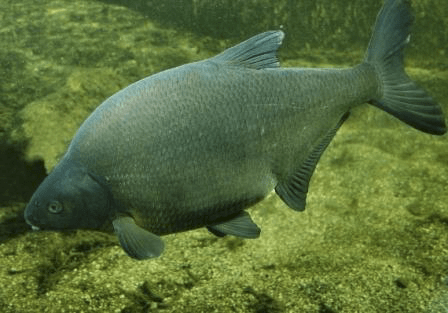 Лещ под водой