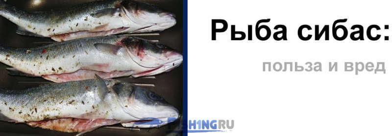 Польза и вред рыбы сибас