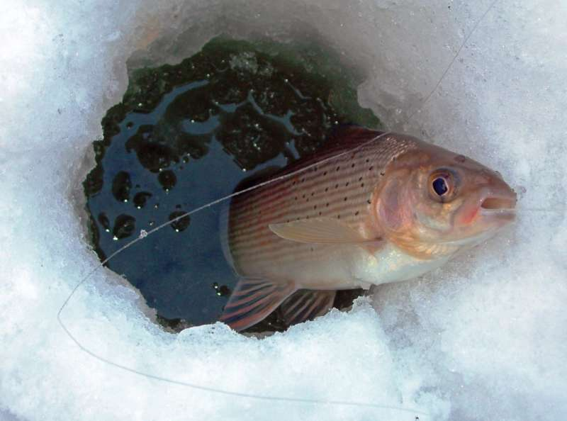 Ловля хариуса зимой: мормышки, мушки в Сибири на малых реках (видео)