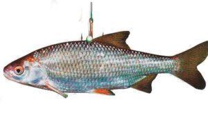 Живец на щуку - зимняя рыбалка