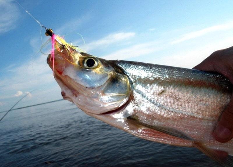 Рыба чехонь: ловля, снасть и прикормка