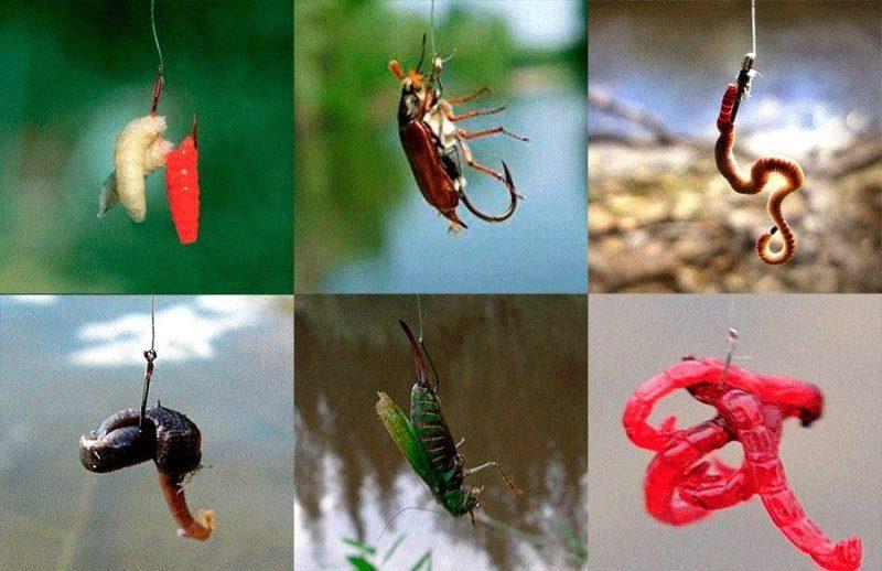 На что ловить чехонь - опарыш, оса, кузнечик, мотыль, червь.