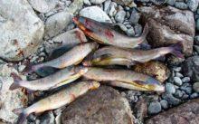 Отчет о рыбалке ЯНАО Хараматолоу хариус