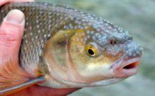 Рыба вырезуб: фото, описание, как поймать, где водится